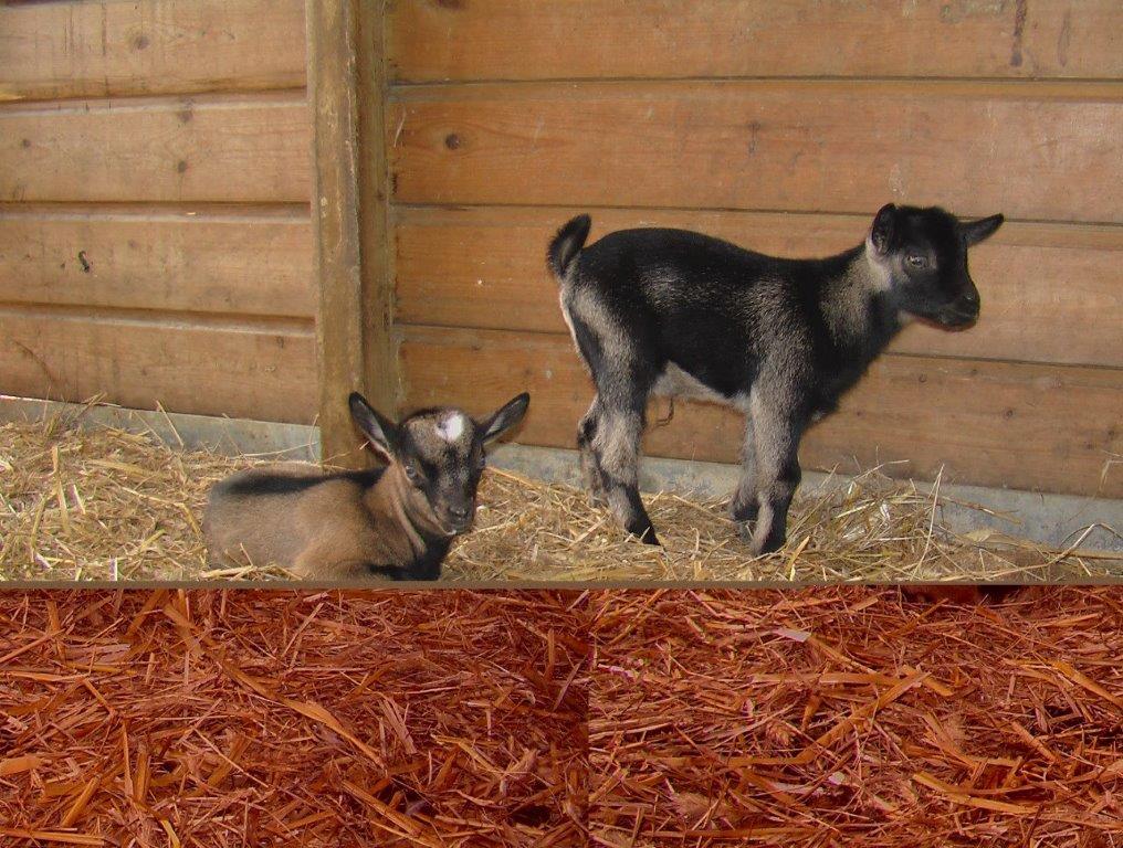 chèvres du camping à la ferme