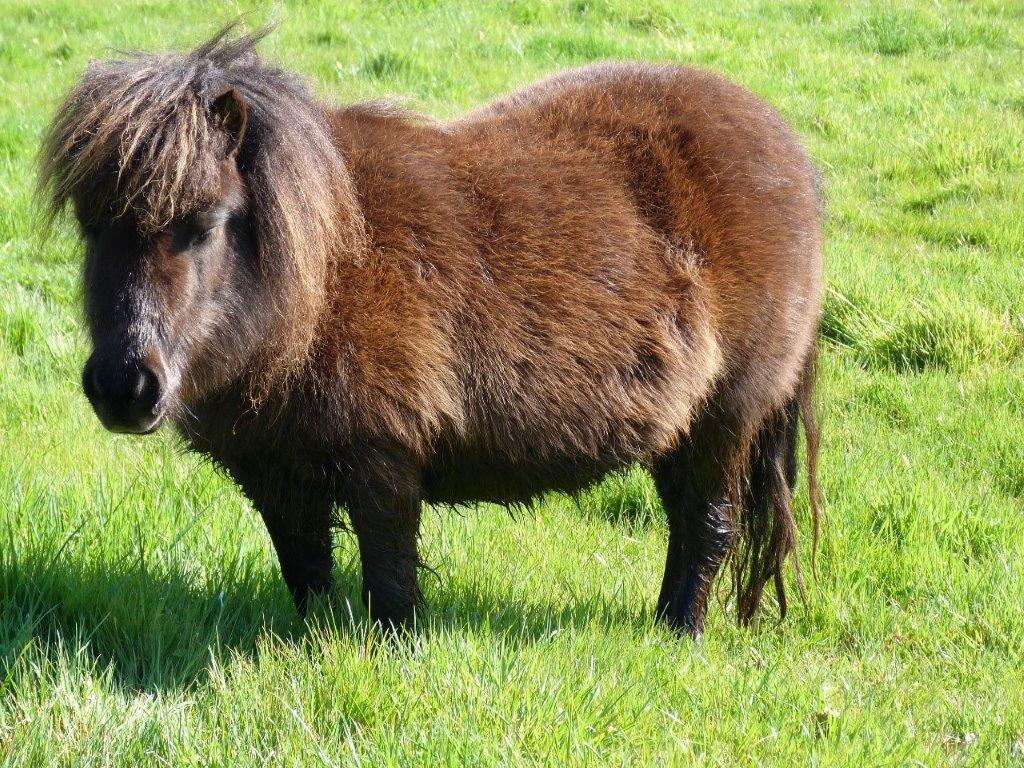 poney nain au camping en Vendée